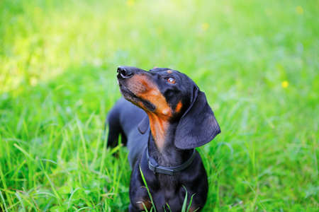 brown and black dog face: Black smooth-haired dachshund among the green grass look up. Nature background Stock Photo