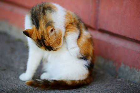 tricoloured: White and Red Cat lick washes itself sitting near wall. Outdoor Stock Photo