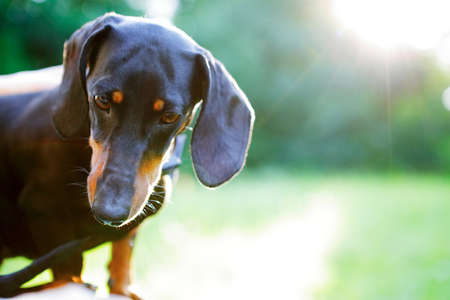 look down: Portrait of black smooth-haired dachshund in bright sunlight. Look down