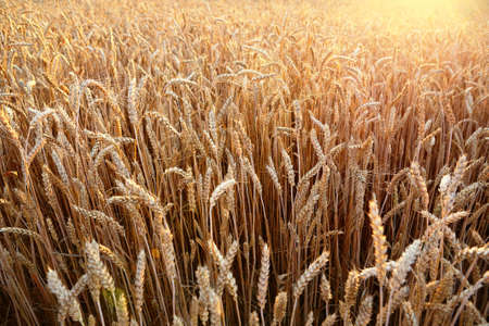 Ripening wheat ears of field on sunset. Agriculture