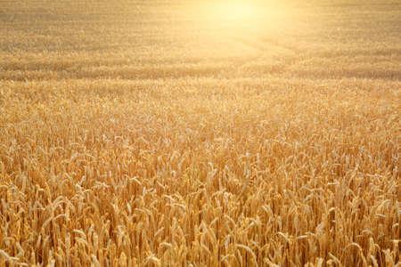 Ripening wheat field illuminated by rays of the setting sun. Beautiful sunset nature. Agriculture Reklamní fotografie