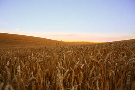 Golden wheat field. Ripe wheat before harvest on sunny summer evening