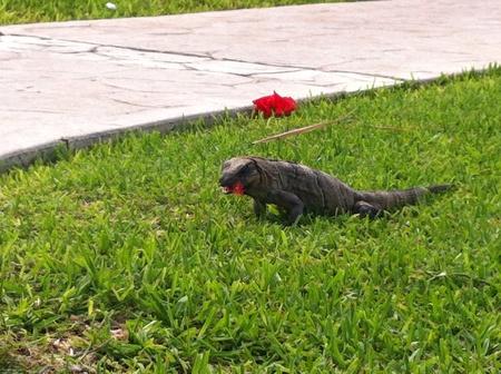 Iguana comiendo una flor . Iguana eating a flower. Banco de Imagens