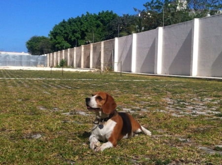 My lovely dog. Beagle