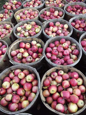 Harvesting apples in Massachusetts