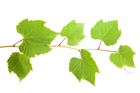backdrop of grape or vine leaves isolated on white background. photo