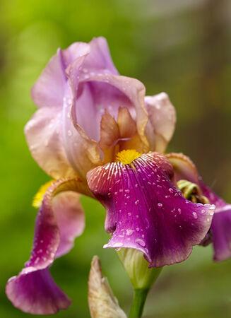 purple bearded iris flowers