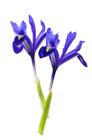 violet iris flower on white isolated photo