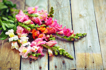 snapdragon: Rustic bouquet of snapdragon (Antirrhinum majus) on vintage wooden board