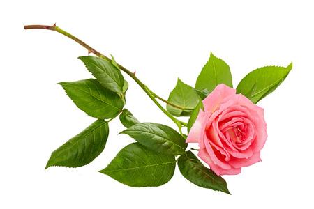 roze rozen boeket op een witte achtergrond Stockfoto