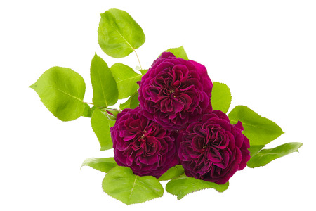 purple rose: purple rose isolated on white background Stock Photo