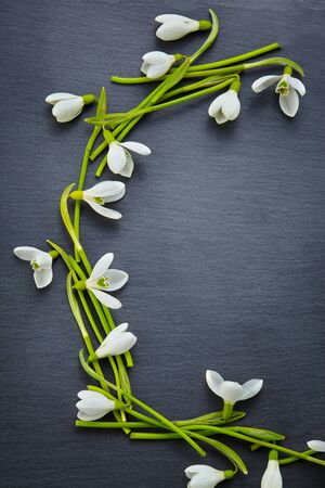 Beautiful fresh snowdrops on dark background