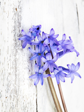 hyacinth on wooden background Zdjęcie Seryjne