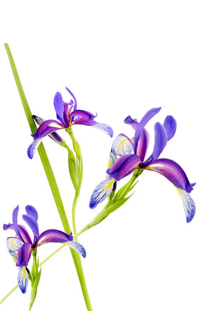 violet irises on white background Zdjęcie Seryjne