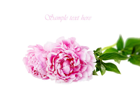 The pink peony on white background.