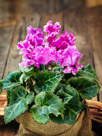 cyclamen in the pot in the bag on wooden background