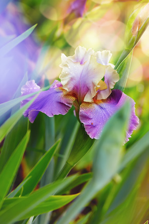 purple bearded iris (shallow DOF)