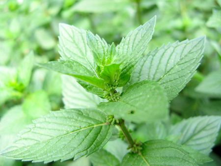 Photo of growing mint close-up Stock Photo
