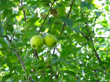 Green apples on a tree close-up photo