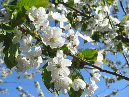 Spring flowering of cherry tree against the sky close-up