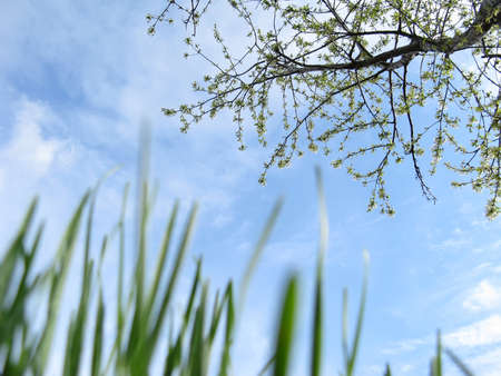 Young grass and flowering fruit tree in a garden against a sky in spring close-up photo