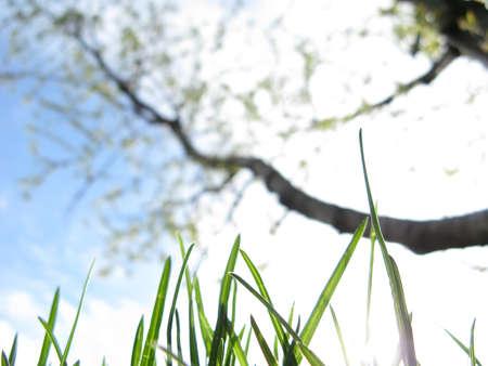 germinación: El césped Joven y árbol en flor en un jardín de frutas contra un cielo en la primavera de close-up