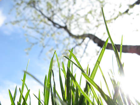 Young grass and flowering fruit tree in a garden against a sky in spring close-up