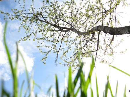 Young grass and flowering fruit tree in a garden against a sky in spring close-up Stock Photo - 12409430