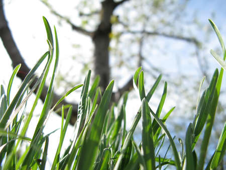 Young grass and flowering fruit tree in a garden against a sky in spring close-up Stock Photo - 12409437