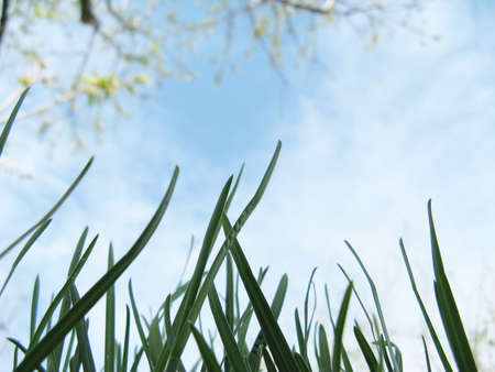 Young grass and flowering fruit tree in a garden against a sky in spring close-up Stock Photo - 12409431