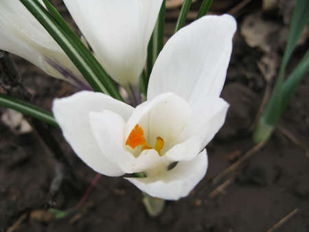 White crocuses in spring close-up photo