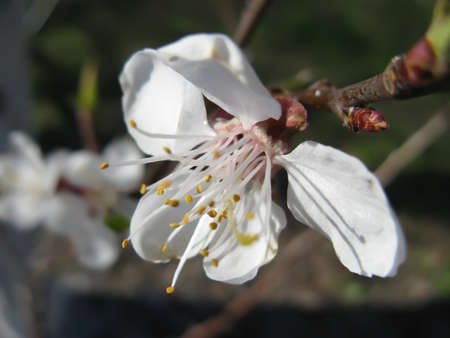 ramification: Flowers of apple-tree in spring close-up Stock Photo
