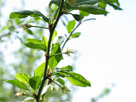 ramification: Branch of apple tree in spring against the sky close-up
