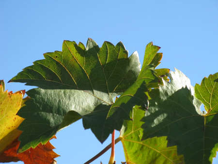 Vine leaves in autumn against the sky close-up photo