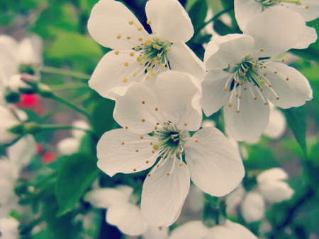 ramification: Flowers of fruit tree in spring close-up Stock Photo