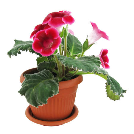 Flowers of pink gloxinia in a brown pot isolated on white background flowers of pink gloxinia in a brown pot isolated on white background close up stock mightylinksfo