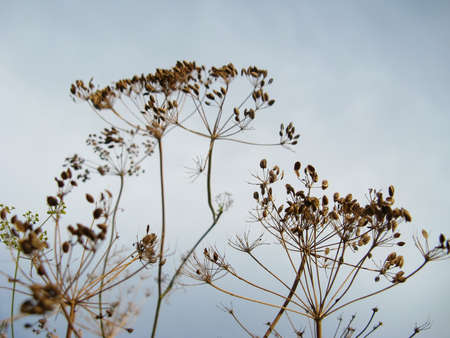 dill seed: Dry dill close-up against a sky