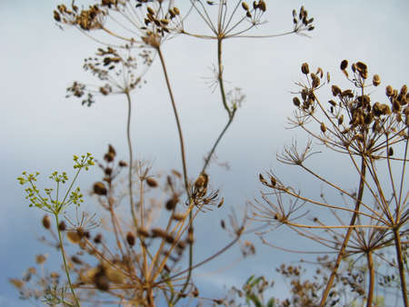 fennel seed: Dry dill close-up against a sky