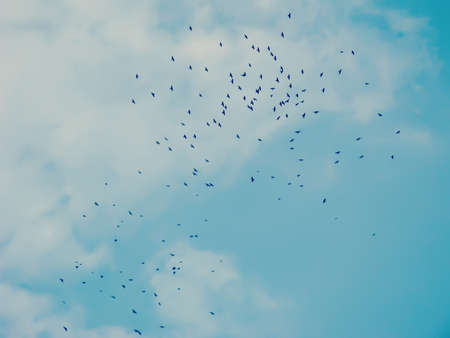 Flock of crows in a sky in autumn