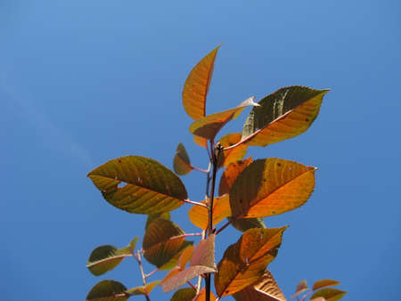 ramification: Branches of cherry-tree in autumn against a blue sky close-up