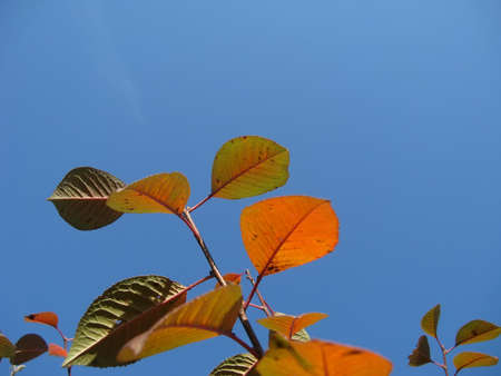 cherrytree: Branches of cherry-tree in autumn against a blue sky close-up