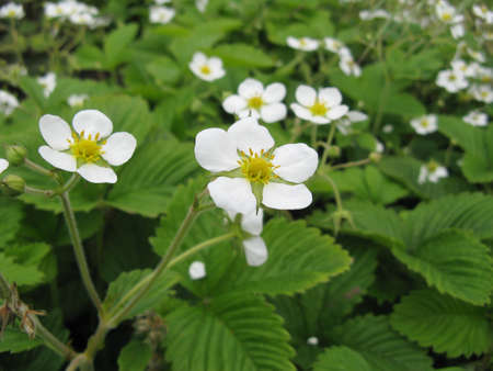 Blossoming of wild strawberry on a bed close up