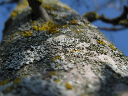 Yellow lichen on a tree close up Stock Photo