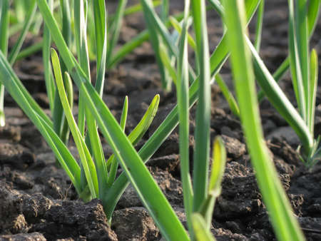 cultivating: Early garlic plants on a ground in spring close up Stock Photo