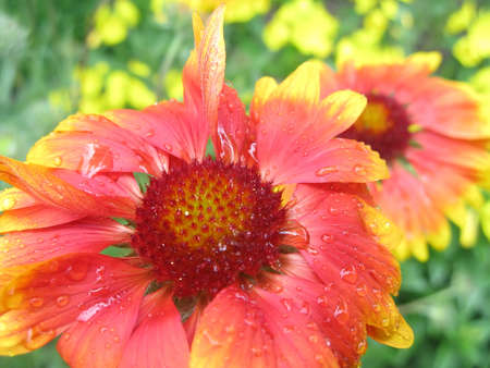 Gaillardia Flower After Rain  Gaillardia flower with raindrops close up Stock Photo