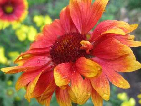 Gaillardia Flower After Rain  Gaillardia flower with raindrops close up Reklamní fotografie