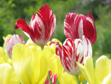 Red and yellow tulips blooming in garden in spring close up Stock Photo