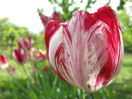 Red tulips blooming in garden in spring close up