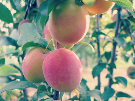 rubicund: Cherry plum tree with fruits in orchard closeup
