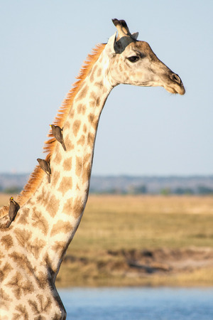 chobe national park: A close-up of a giraffe with birds at Chobe national park in Botswana